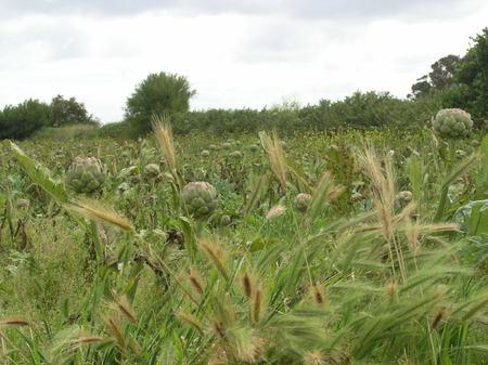 Artichoke_field